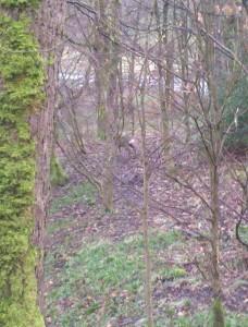Deer in Netherwood